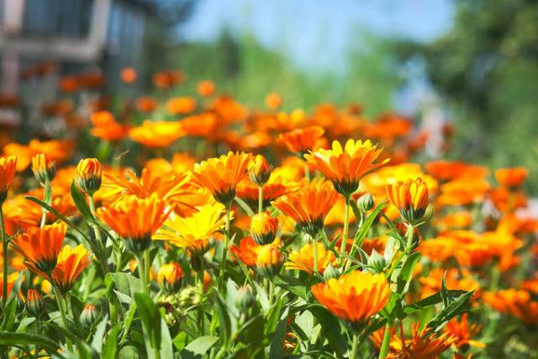 flores de caléndula